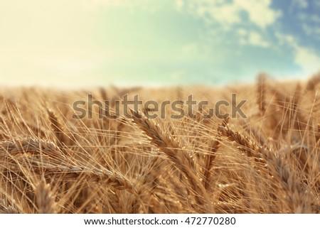 Beautiful wheat field #472770280
