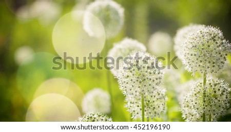 Beautiful White Allium circular globe shaped flowers blow in the wind. UHD #452196190