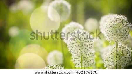 Beautiful White Allium circular globe shaped flowers blow in the wind. UHD #452196190