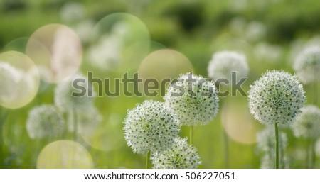 Beautiful White Allium circular globe shaped flowers blow in the wind. UHD #506227051