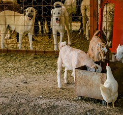 beautiful white and brown goats, chickens, and cute shepherd dogs eating their feed in the barn