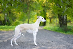 Beautiful white and cream whippet dog standing on the road with green background.