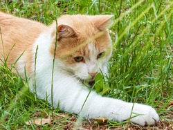 Beautiful white and orange cat sitting in the grass and playing with the grass.Cat portrait and attentive stare with paw in front behind the green grass in summer