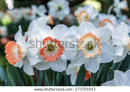 beautiful white and orange daffodils orange and white narcissus in a garden. soft focus or shallow depth of field, with bokeh background