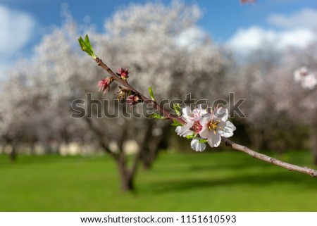 Beautiful white and pink almond flowers with selective blur in O'Halloran Hill South Australia on 6th August 2018 #1151610593