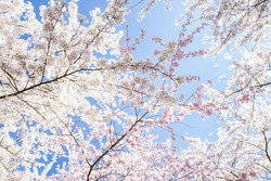 Beautiful White And Pink Japanese Cherry Blossom Trees In Full Bloom In The Sun With Blue Sky
