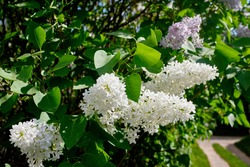 Beautiful white and purple lilac inflorescences with green foliage. Spring flowering of trees. Close-up, selective focus, macro.