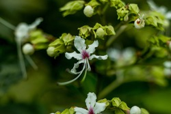 Beautiful white and red-pink flower plants called Wallich's glory bower, nodding clerodendrum, Bridal Veil Clerodendrum wallichii, blooming. Wallich's glory bower