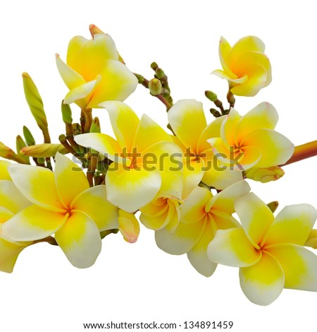 Beautiful white and yellow Plumeria flower, tropical flower isolated on a white background