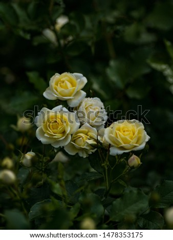 Beautiful white and yellow rose flowers isolated picture