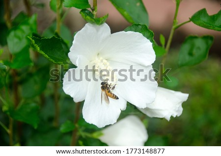 Beautiful white big hibiscus flower (Hibiscus rosa sinensis) on green nature background. Karkade in the tropical garden. Hibiscus flower Jaswand Plant. Tropical Hawaiian Hibiscus flower