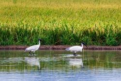 Beautiful white bird, Threskiornis melanocephalus or Oriental white ibis, Indian white ibis in water searching for food.