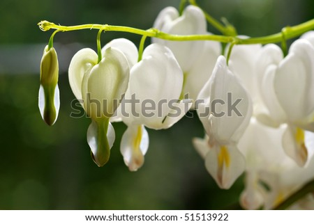 Beautiful white bleeding heart flowers. Macro with extremely shallow dof.