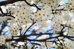 Beautiful white blooming flowers on the tree during the spring in California