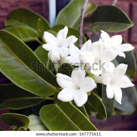 Free photos flower 5 avopix beautiful white blooms of stephanotis florabunda hawaiian wedding flower or madagascan jasmine with waxy five mightylinksfo