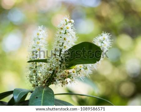 Beautiful white blossom of runus laurocerasus ( cherry laurel, common laurel ) #1089586571
