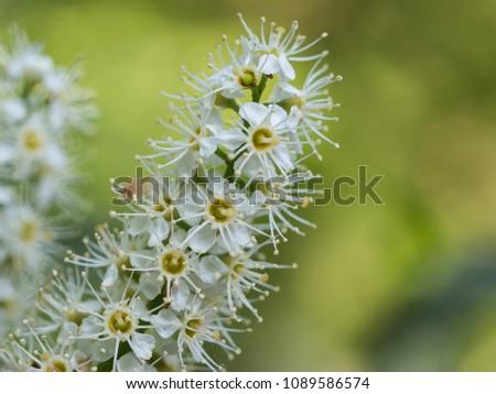 Beautiful white blossom of runus laurocerasus ( cherry laurel, common laurel ) #1089586574