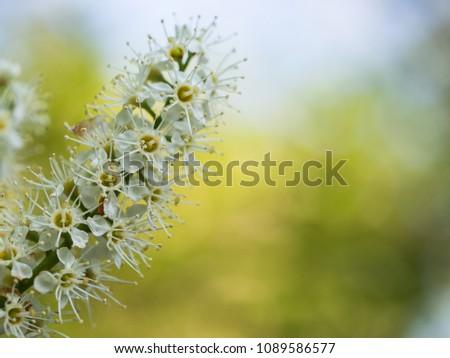 Beautiful white blossom of runus laurocerasus ( cherry laurel, common laurel ) #1089586577