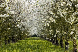Beautiful white blossom trees lined up in a nice green field