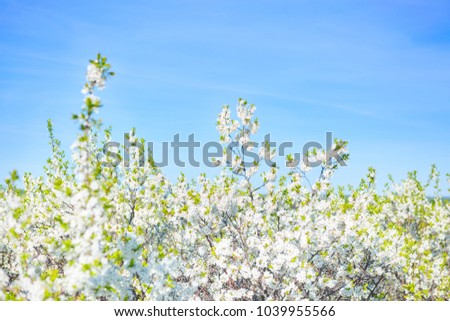 Beautiful white blossoming cherry in spring at Sunrise on blue background .