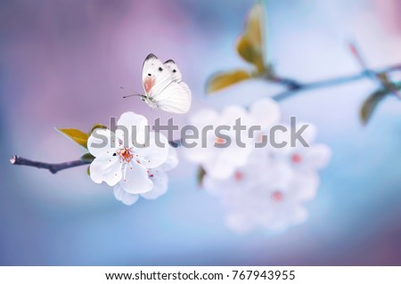 Beautiful white butterfly and branch of blossoming cherry in spring at Sunrise on blue and pink background macro. Amazing elegant artistic image nature in spring, sakura flower and butterfly