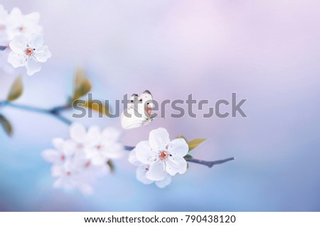 Beautiful white butterfly and branch of blossoming cherry in spring on blue and pink floral background macro. Amazing elegant artistic image nature in spring, sakura flowers, free space for copy.