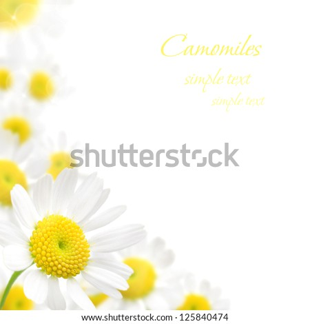 beautiful white camomile floral frame on a white background