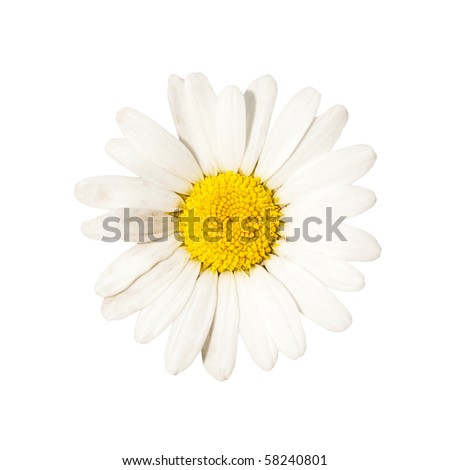 beautiful white camomile, outdoor, nature