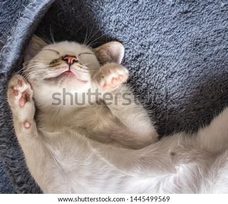Beautiful white cat sleeping. Concept. Healthy, restful sleep and life. #1445499569