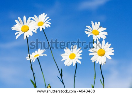 beautiful white chamomiles on the blue background