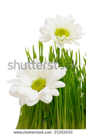 Beautiful white chrysanthemum flowers with yellow centre in green grass on white background