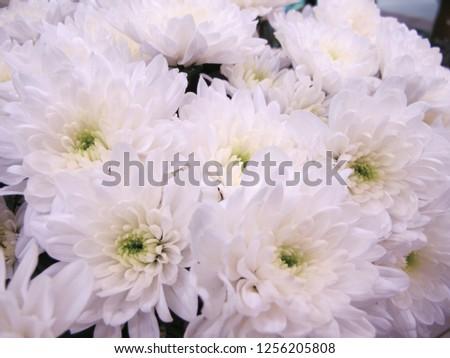 Free Photos White Chrysanthemum Flowers With Green Center Avopix