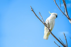 beautiful white cockatoo perched on wood branch with clear blue sky in background, lovely wildlife animal in Australia
