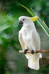 Beautiful white Cockatoo, Sulphur-crested Cockatoo (Cacatua galerita), standing on a branch