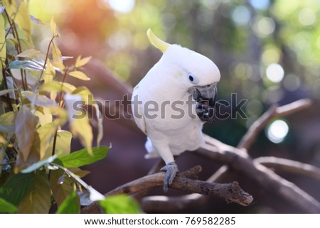 Beautiful white Cockatoo, Sulphur crested Cockatoo, Lift one leg eating food