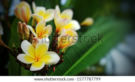 Beautiful white colored of Plumeria (Frangipani) flowers, also known as Lei flowers. The leaves have deep green color, long, leathery, and grow in dense clumps at the tips of its branches