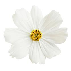 Beautiful white cosmos flower isolated on white background.