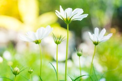 Beautiful white cosmos flowers of bipinnatus in the summer season plants during bloom. A beautiful cosmos flower against a background of green and yellow stems and leafs.