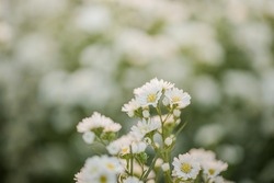 Beautiful white cutter flowers in a flower field Natural beauty White flower background