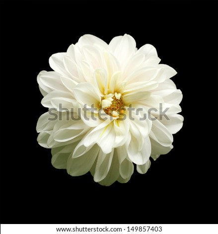 beautiful white dahlia flower on black background. This brilliant, pretty flower has a stunning pattern of petal arrangement in spiral or concentric circular fashion