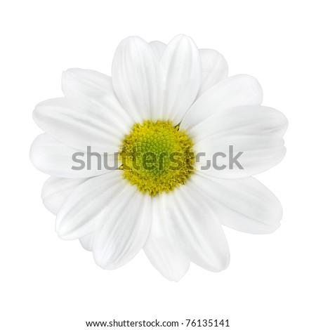 Beautiful White Dahlia Flower with Lime Green Center Isolated on White Background