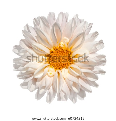 Beautiful White Dahlia Flower with Yellow Center Isolated on White Background