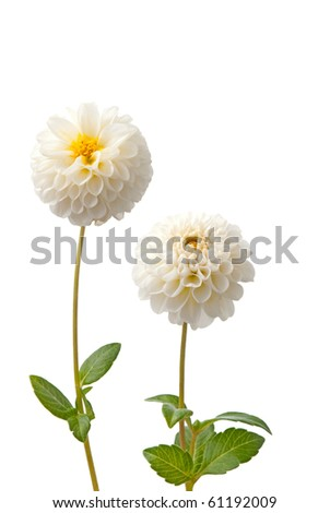 Beautiful white dahlias isolated on a white background.
