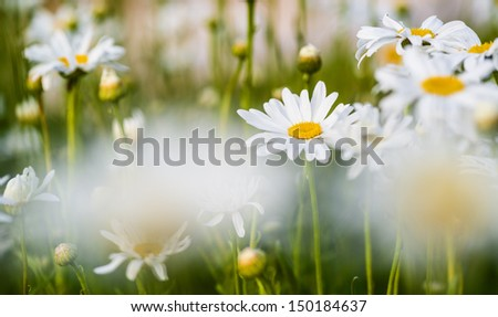 Beautiful white daisies blooming in a garden with a picture taken at shallow depth of focus