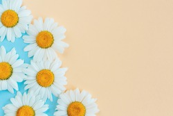 Beautiful white daisy flowers on a light blue and peach pastel background. Greeting card for summer days. Place for text. Close-up.