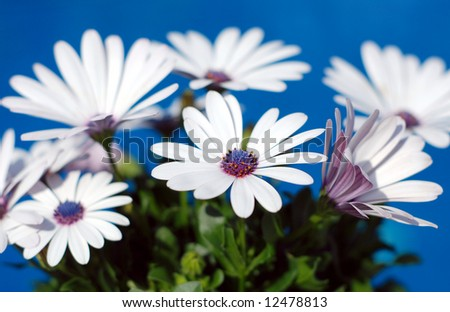 Beautiful white daisy flowers over a brilliant blue background