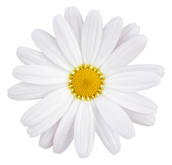 Beautiful white Daisy (Marguerite) with a little pink, isolated on white background, including clipping path.