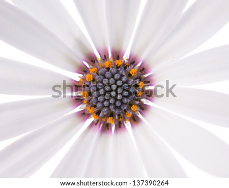 beautiful white daisy on a white background