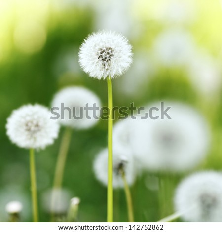Beautiful white dandelion flowers close-up