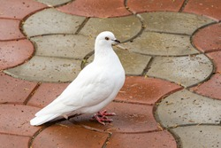 Beautiful white dove, dove of peace, on the wet road. Domestic pigeon (Columba livia domestica) in the city. There is a place for your text.
